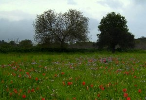 Field of wild tulips in cyprus